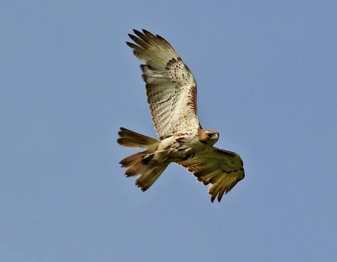 IBA_-_grant_s_-_broadwinged_hawk