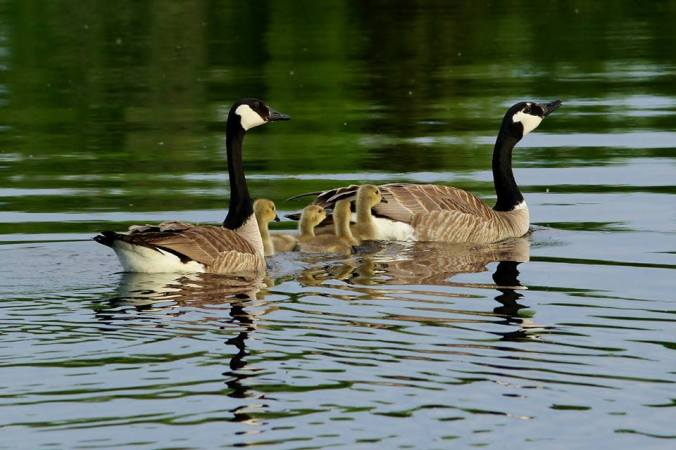 iba_-_grant_s_-_canada_geese