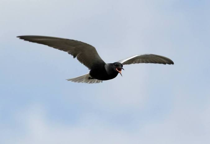 iba_-_oak_hammock_-_black_tern