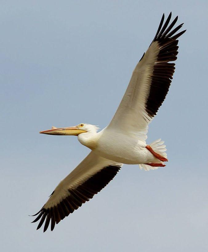 IBA_-_shoal_-_pelican