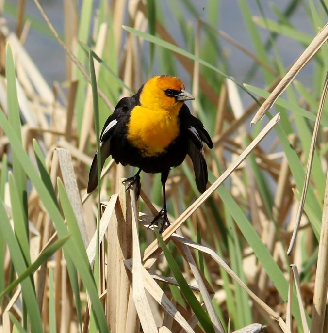 iba_-_shoal_-_yellow_headed_blackbird