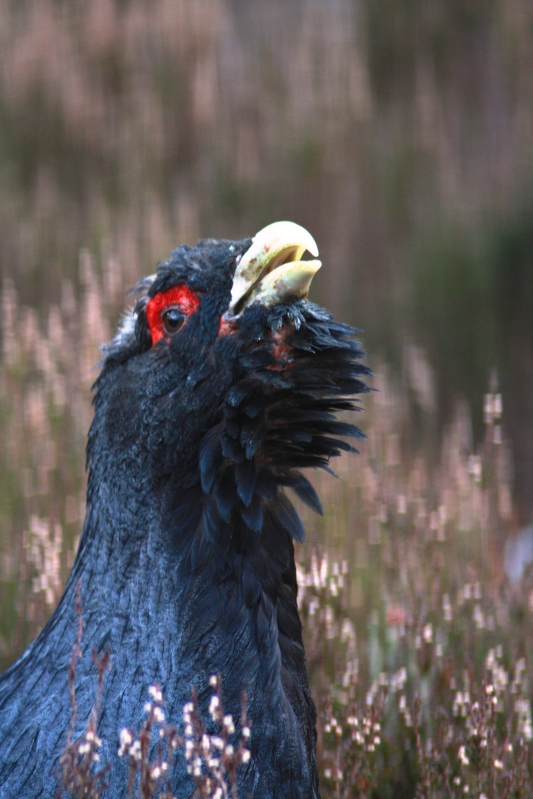 Male capercaillie in an IBA in Scotland. Photo by Tim Poole