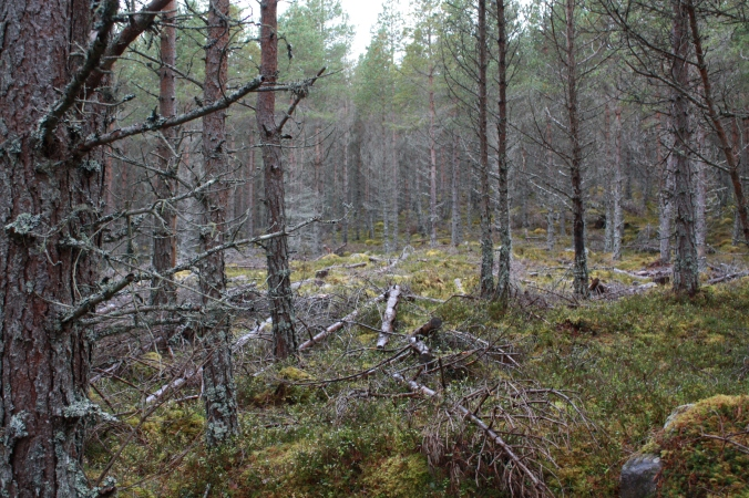 Selective thinning of trees have enhanced this habitat for capercaillie. Thinned trees were left in situ as deadwood. Glades were created to create ideal conditions for wood ants and tree regeneration. Photo by Tim Poole