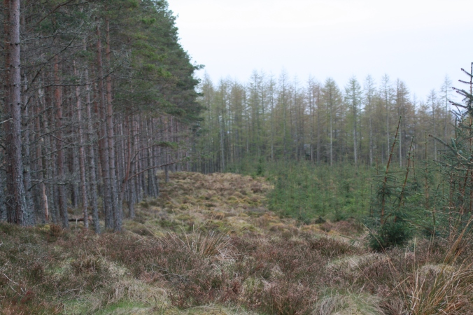 Mixed species conifer plantation on a bog. A cock capercaillie was displaying in this area earlier in the morning. Hens feed on nutritious bog plants prior to egg laying. Photo by Tim Poole