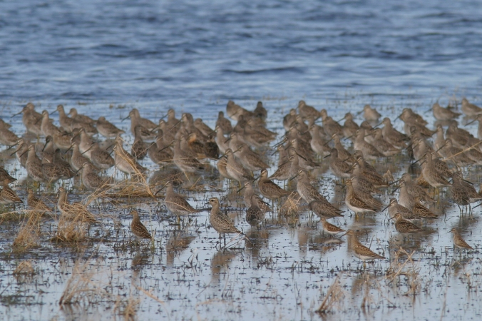 WWL_shorebird flock_AMGP_SBDO_LBDO_PESA_LESA