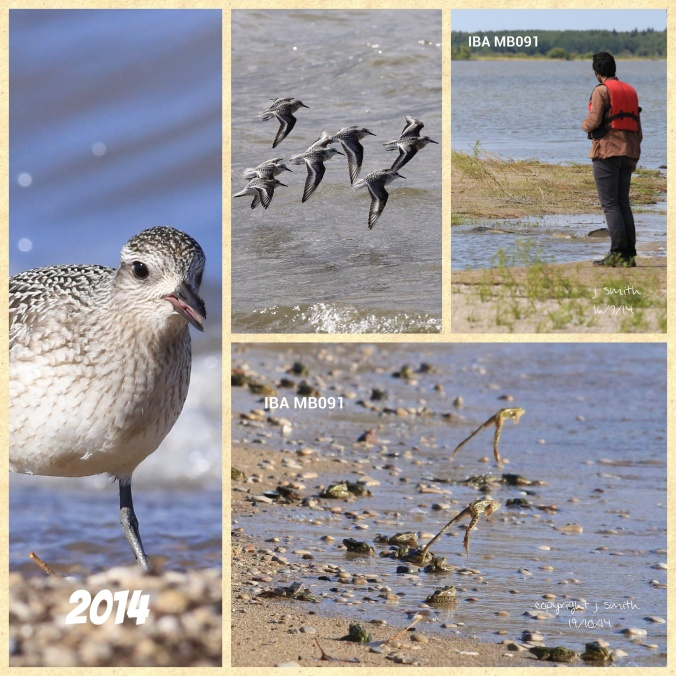 Black-bellied Plover, Sanderling, Northern Leopard Frog and Nature Manitoba summer student Marshall Birch