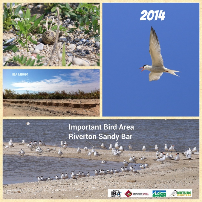 From left to right and top to bottom: Common Tern nest, Common Tern, Sweet White Clover erosion and Caspian Tern, Common Tern and Ring-billed Gulls