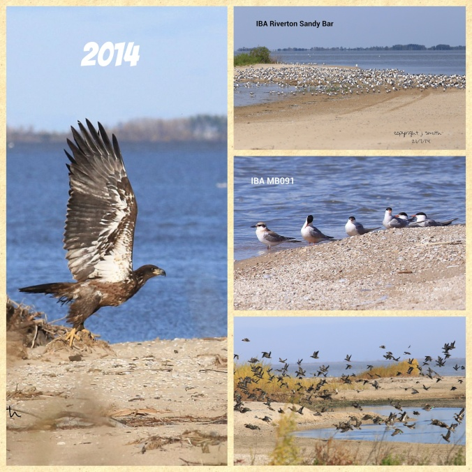From right to left and top to bottom: Juvenile Bald Eagle, approximately 1500 Frankin's Gulls, the only Juvenile Common Tern seen in 2014 and Green-winged Teals in fall migration