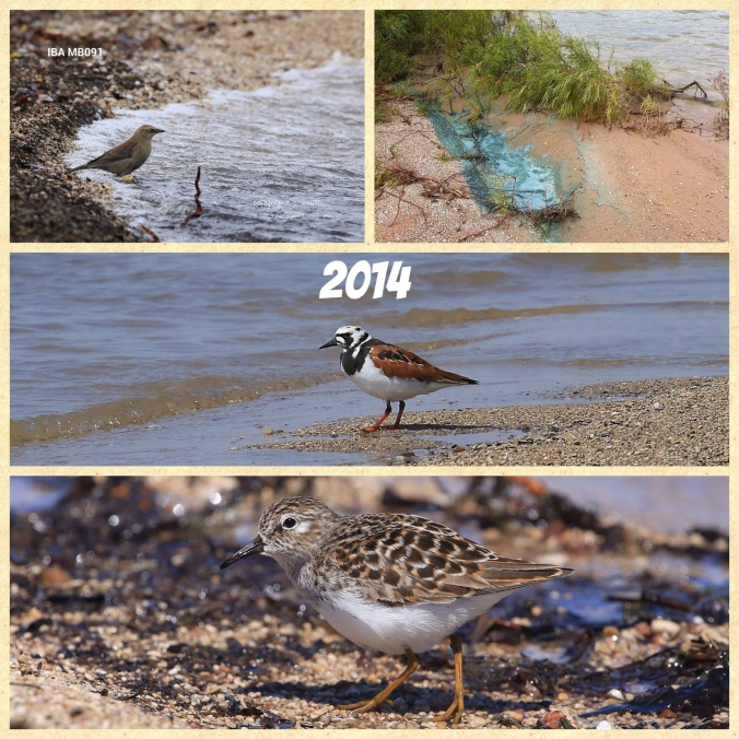 From top to bottom: Rusty Blackbird, Blue-green Algae Ruddy Turnstone and Least Sandpiper