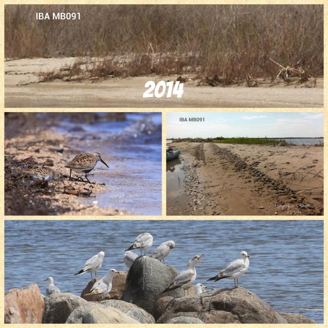 Top to bottom: White Sweet Clover, Dunlin, ATV tracks and Ring-billed Gull