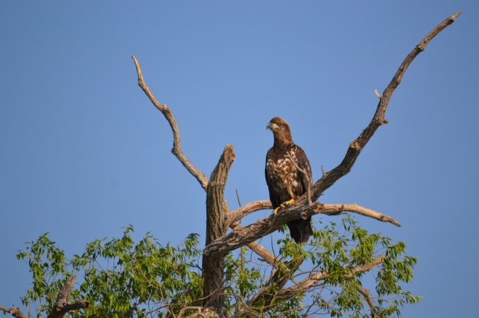 028  Juvenile Bald Eagle - Netly-Libau Marsh