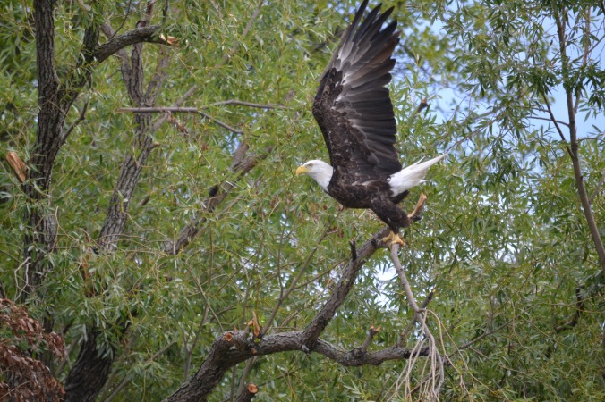 Adult Bald Eagle at Netley-Liba Marsh. Copyright Charlie McPherson
