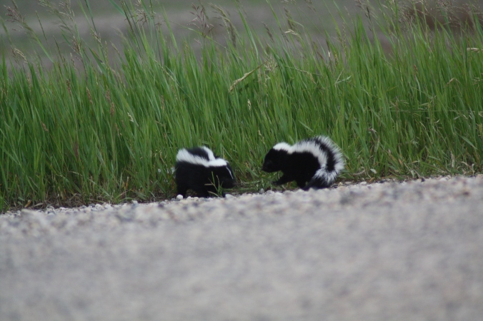 Pair of baby skunks at the side of the road. Photo by Tim Poole