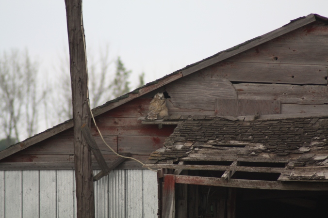 Young Great Horned Owl in a barn. Photo by Tim Poole