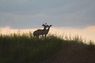 Pair of Mule Deers watch the sunset over southwestern Manitoba. Photo by Tim Poole