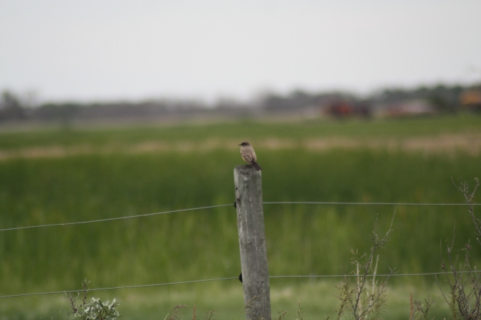 Say's Phoebe on a fencepost near Tilston. Photo by Tim Poole
