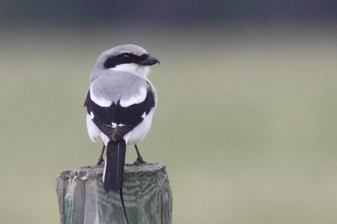 Loggerhead Shrike, photo copyright Christian Artuso http://artusophotos.com/