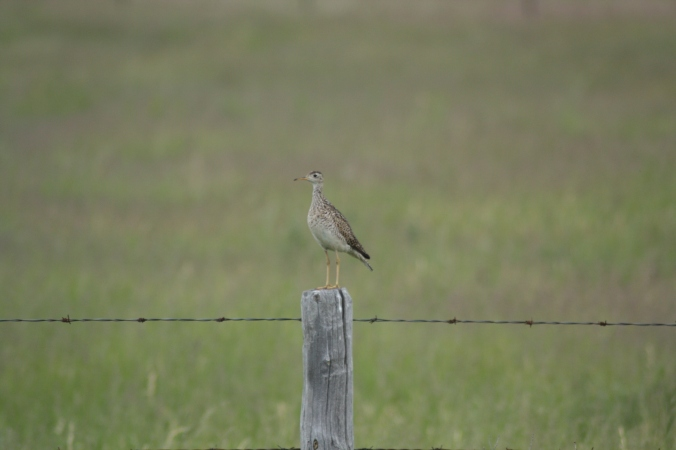 The ungainly and slightly cartoon-like looking Upland Sandpiper is a regular occurrence in southwestern Manitoba. Photo by Tim Poole