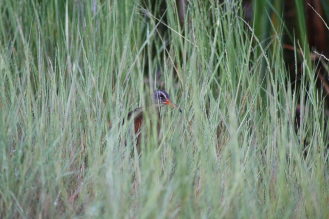 Not a California Gull or Ibis maybe but this Virginia Rail peeked his head through the grass at Whitewater Lake IBA. Photo by Tim Poole