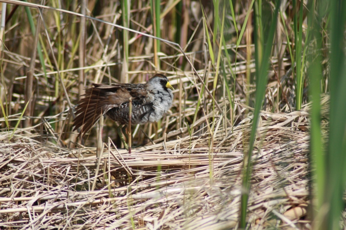 Sora, a common species of rail heard whinnying frequently on wetlands around Manitoba. Photo by Tim Poole