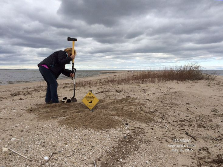 Manitoba IBA Program Steering Committee member, Bonnie Chartier,  hammering in a sign warning visitors of nesting birds.
