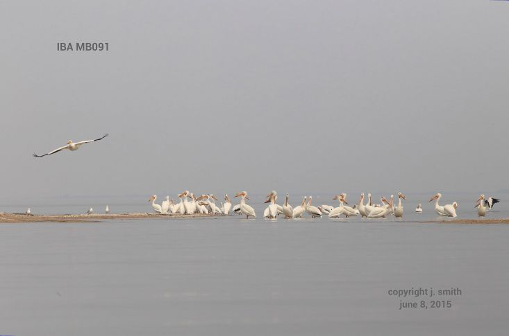 A flock of pelicans. Photo by Joanne Smith.