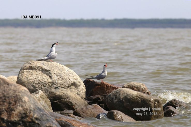 Common Terns. Photo by Joanne Smith.
