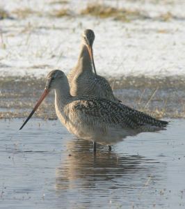 A couple Marbled Godwits. Photo by Christian Artuso.