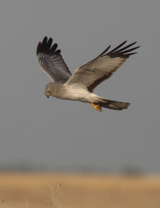 Northern Harrier cropped