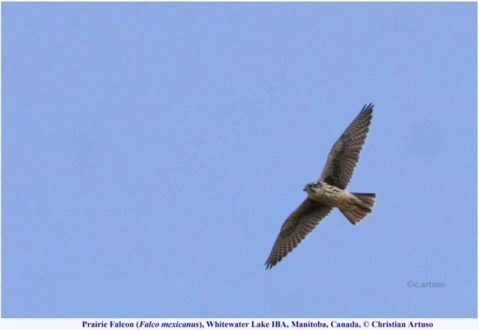 07b_Artuso_Prairie Falcon_8678