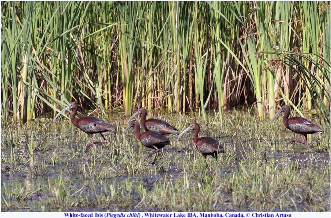 White-faced Ibis flock. Copyright Christian Artuso