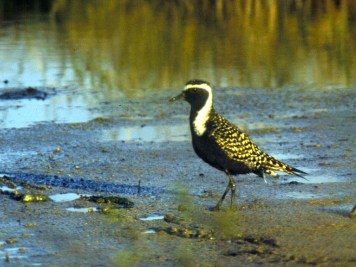 American Golden Plover. Photo by Christian Artuso