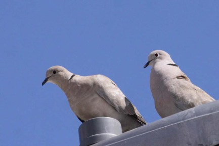 Eurasian Collared Doves in, er, Deloraine Manitoba. Photo copyright Christian Artuso