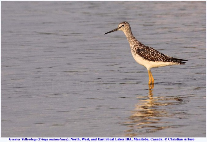 Greater Yellowlegs_9667_Artuso