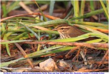 Northern Waterthrush_9600_artuso