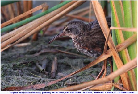 Virginia Rail_9426_juv_Artuso