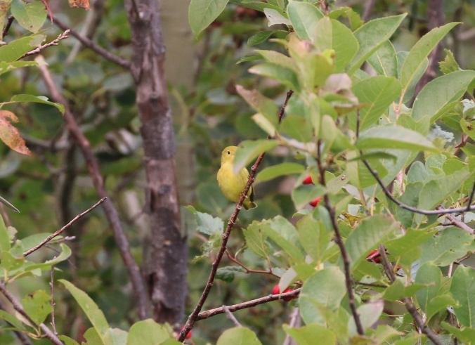 Yellow Warbler hiding in the bushes. Photo copyright Bill Rideout.