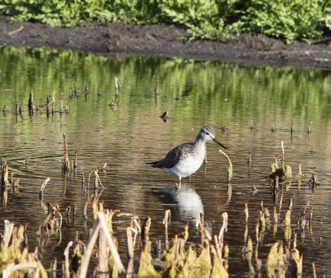 Greater Yellowlegs were the most abundant shorebird for the second blitz in a row. Photo copyright Donna Martin