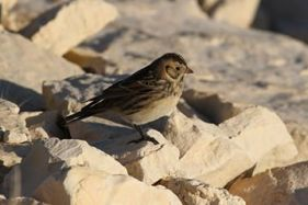 Lapland Longspur numbers were starting to build up by this point. Photo copyright Donna Martin