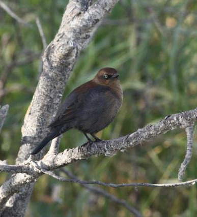 The internationally threatened Rusty Blackbird in all its rusty glory. Photo copyright Donna Martin