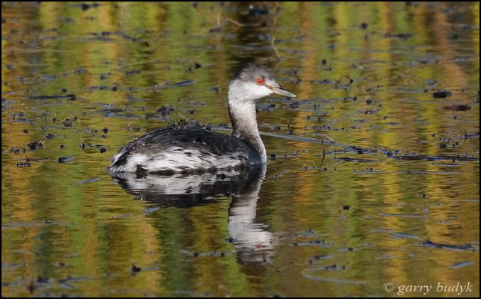 Horned Grebe copyright Garry Budyk