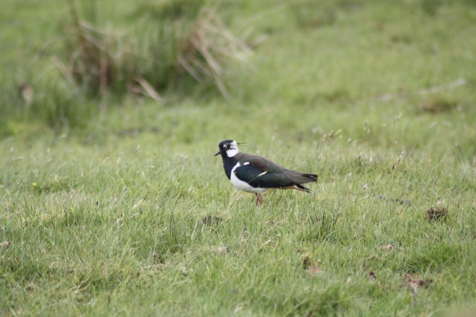 Northern Lapwings are declining in Europe due to agricultural changes. Photo copyright Tim Poole