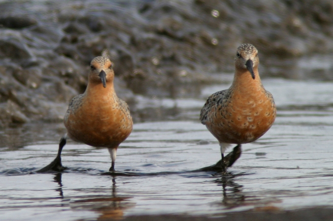 Red Knots in breeding plumage photographed at Chalet Beach in Netley-Libau Marsh IBA in 2004. Photo copyright, Christian Artuso
