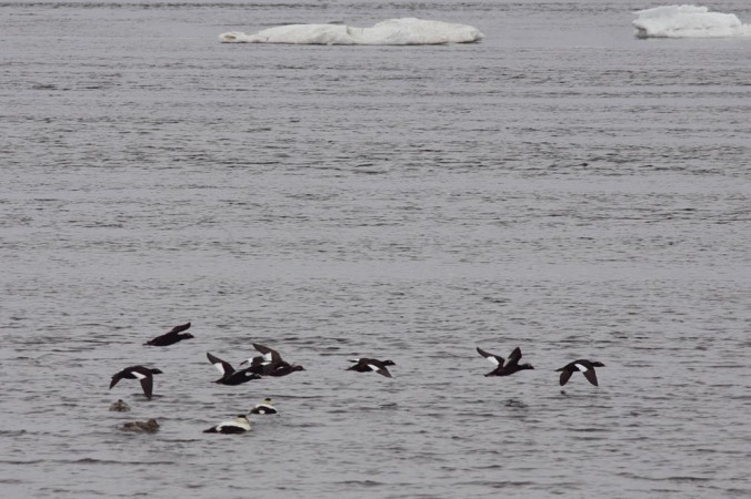 No one caught a great photo of the White-winged Scoters on the day but here is a photo from Seal River Estuary IBA in northern Manitoba. Photo copyright Christian Artuso