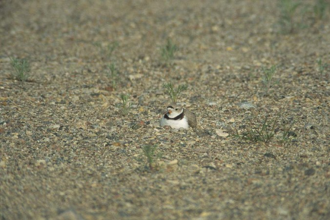 Piping Plover_1