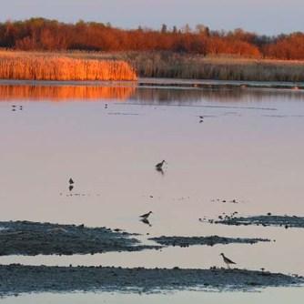 Sagemace IBA Red Deer Point shorebirds at dusk_4014_Artuso