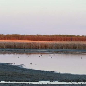 Sagemace IBA Red Deer Point shorebirds at dusk_4022_Artuso