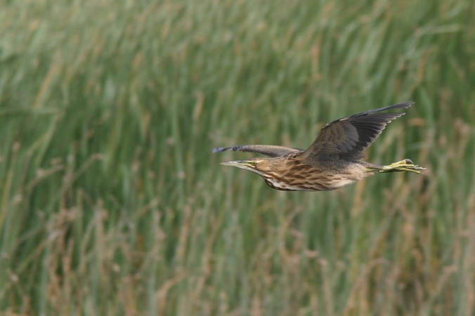 American Bittern flight