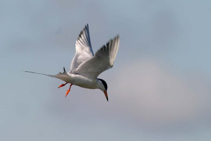 Forster's Tern flight 8
