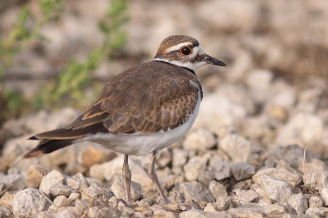 Killdeer_2731